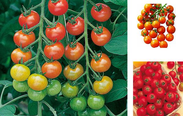 hibridne-sorte-07-cherry