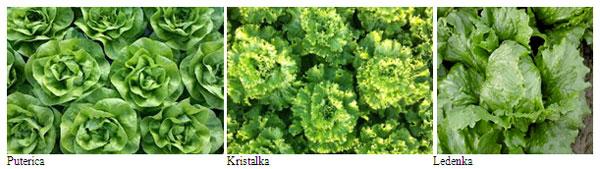 hibridne-sorte-26-salata