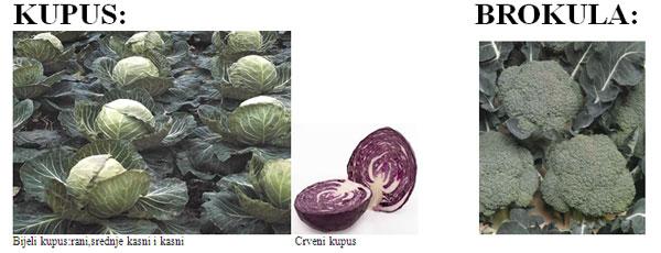 hibridne-sorte-27-kupu-brokula