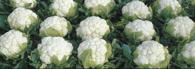 hibridne-sorte-28-brokula