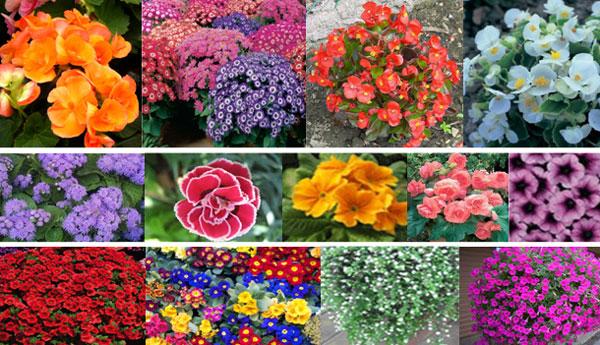hibridne-sorte-34-cvijece-0